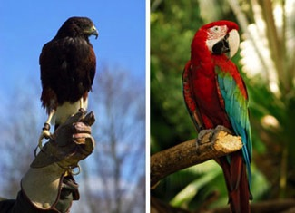 A Harris hawk and a macaw - Camrosa has been beneficial on these breeds of birds for sores on the legs and feet, damaged leg scales caused by leg mites and for healthy horn growth