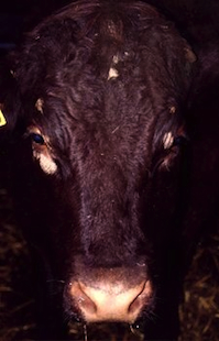 A Sussex cow with circular skin lesions, (dry, crusty skin with hair loss), on her face.