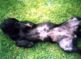 A Labrador rolling over to show her sore, hairless tummy, due to a grass allergy, another dog skin problem Camrosa has been used for