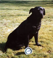 The same Labrador, after Camrosa with a healthy shiny coat