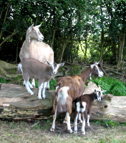 Goats at Ladymeads Farm who benefited from Camrosa for hair loss and itchy, dry skin. Mites commonly cause these skin problems in goats