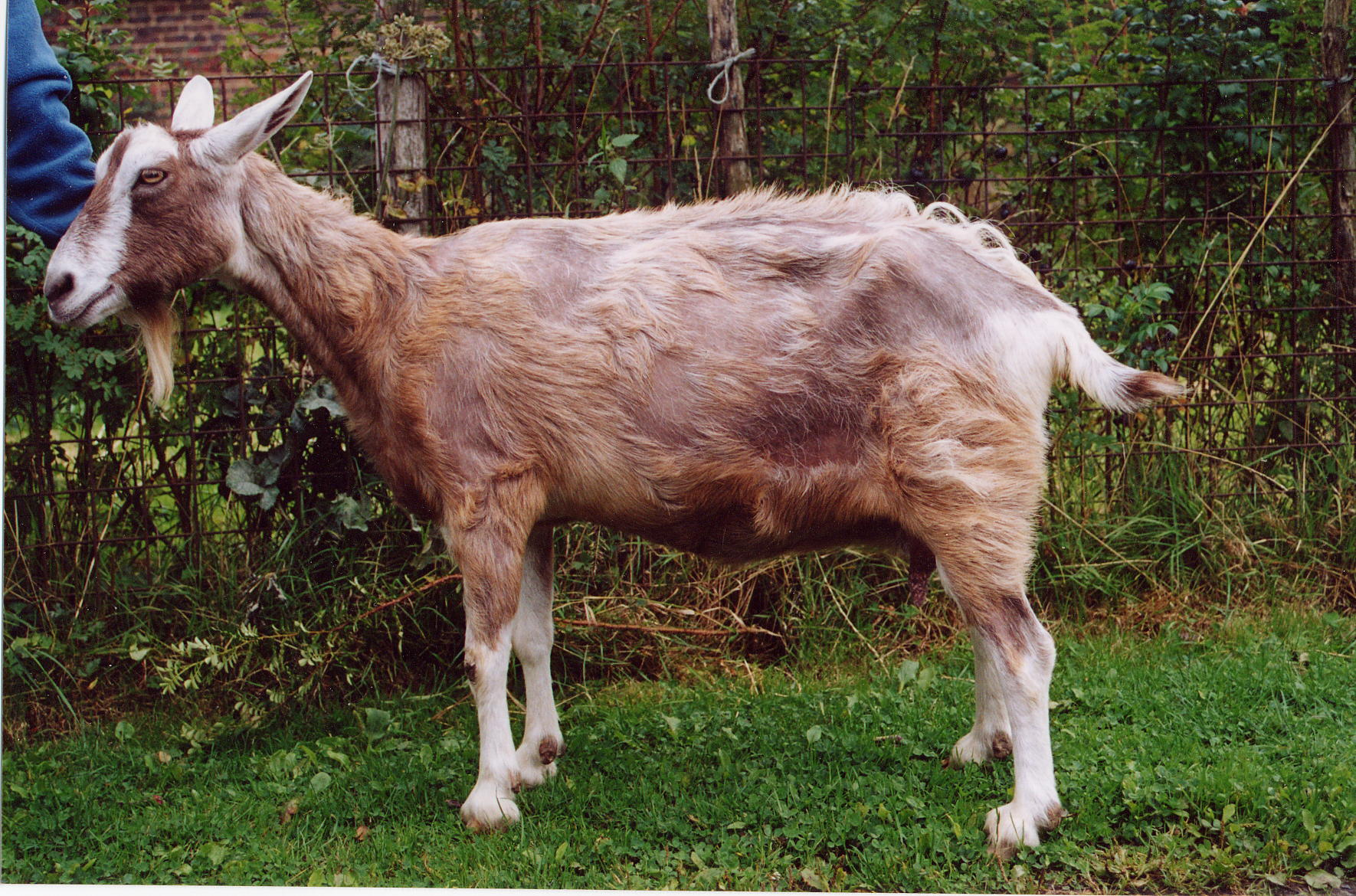 A goat with considerable hair loss resulting from itching due to mites, which can cause skin problems in goats
