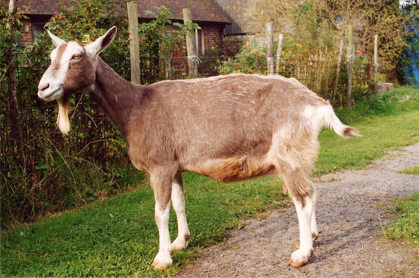 The same goat with full hair regrowth after Camrosa had cleared the mites and stopped the itching- showing Camrosa to be a useful product to have for your goat care