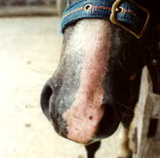 Typical harvest mite damage- sore skin and scabbing on the muzzle of a pony