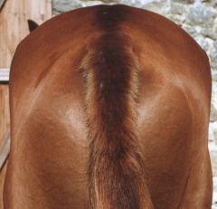 The same horse after 8 weeks of using Camrosa as a barrier to midge bites - the skin is supple and hair regrown