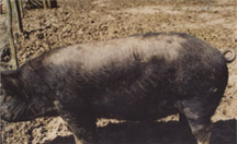 A black pig with dry skin and bristle loss across her back, caused by mites. Camrosa clears the mites that cause this pig skin problem.