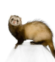 A sitting ferret. Hair loss, bites and growths are problems on ferrets that Camrosa has been useful for