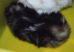 The same black and white guinea pig after Camrosa with dry, scurfy itchy skin gone and a shiny healthy coat