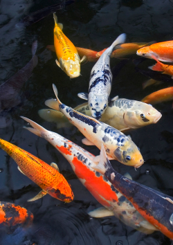 Some Koi Carp fish, who can suffer from parasites and scale damage which Camrosa has been used for