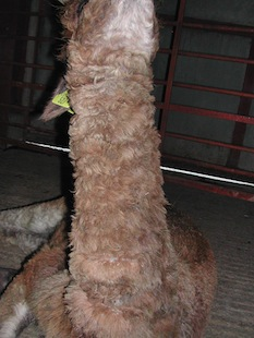 The same alpaca, after Camrosa, with supple skin and fleece regrowth, showing Camrosa to be a useful ointment to have in store for your alpaca care