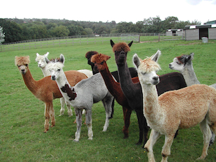 Some of the Lightfoot Alpacas that have benefited from Camrosa Ointment for skin problems such as fleece loss, itchy, dry and callused skin.