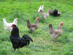 Some of Ladymeads Farm's laying flock of hens that have benefited from Camrosa for minor wounds and leg mites, which cause damaged scales