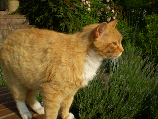 Azreal, a ginger cat, who had a cat skin problem.