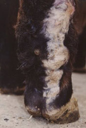 The hind leg of a horse with severely granulated scar tissue, which can occur following wounds in horses