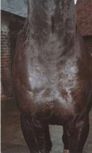 The same horse with wounds healed and hair regrown after using Camrosa, which promoted the natural healing process and acted as a barrier to flies and dirt