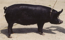 The same black pig after correct full application of the ointment with full shiny healthy coat of bristles and healthy skin all over, proving how effective the ointment is for pig skin problems such as these.
