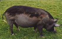 The same black pig with healthy skin and hair regrowth where the ointment was applied on the top of the pig's back, but on the sides, legs and underneath the pig there is new hair loss and dry skin as the ointment was not initially applied with an encircling band - so the mites migrated causing damage elsewhere.