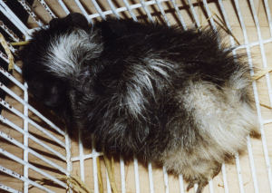 A black and white guinea pig with dry, scurfy itchy skin before Camrosa was used.